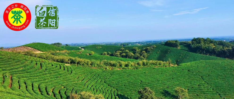 2017信阳毛尖新茶开售