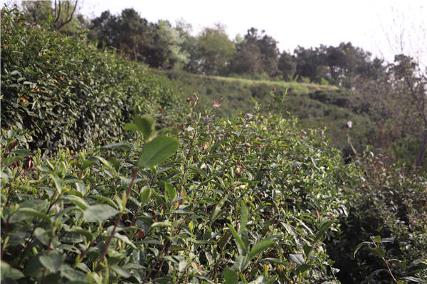 信阳毛尖哪里产的好?信阳毛尖原产地www.shihegang.com