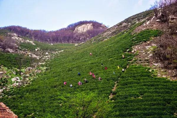 浉河港官网商城的茶叶为什么好?信阳毛尖的生长环境了解一下