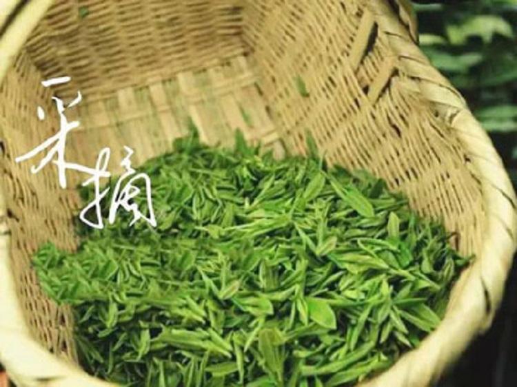 信阳毛尖 2020新茶 信阳野茶 原生态荒野生茶500克 绿茶 批发