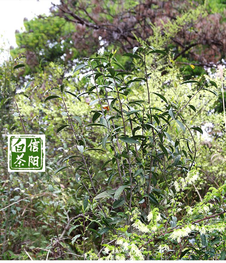 【阿里云】河南白茶 信阳白茶2018明前特级新茶 小罐罐茶32g