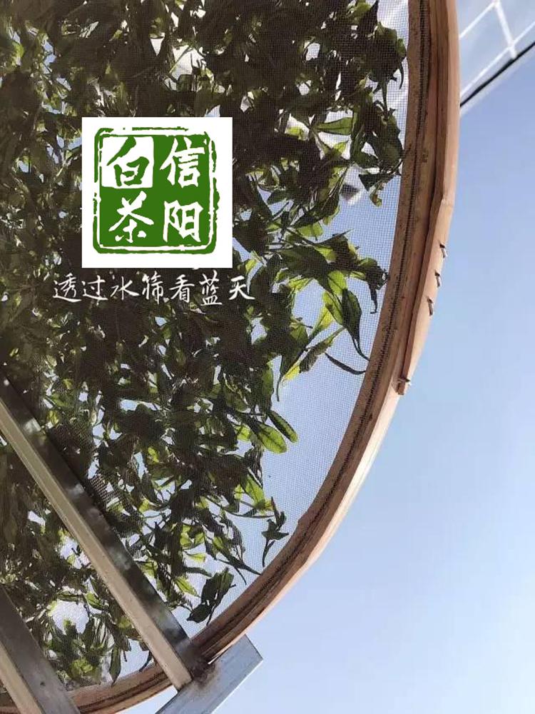 信阳白茶 雨前珍品白茶芽头 白茶 三年药七年宝 信阳特产 珍稀白茶批发