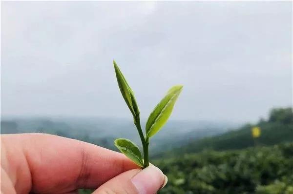 源自智慧茶庄园,方是好茶,阿里云茶人卧虎藏龙只为极致而生。